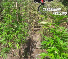 Montoro. I carabinieri trovano piante di marijuana alte sue metri in montagna