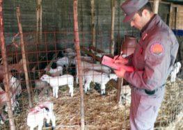 Pasqua sicura, i carabinieri controllano 13mila ovini, scoperti allevamenti abusivi, sequestri di carne e latte