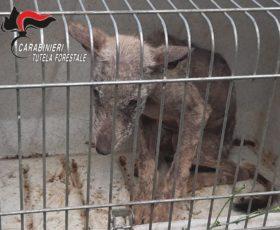 Cucciolo di lupo in difficoltà, salvato dai carabinieri forestali